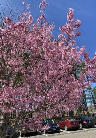Japanese cherry blossoms can be found all over Mount Carmel campus.